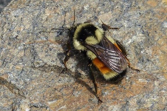 Pszczoły giną – co to znaczy dla człowieka