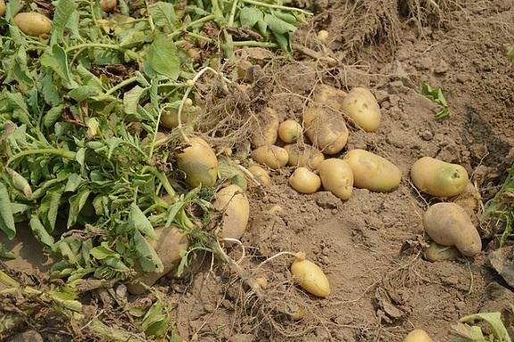 Prosto z ogródka- młode ziemniaki, rzodkiewka, kalafior – to się teraz je!